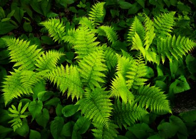 new green ferns Vermont forest